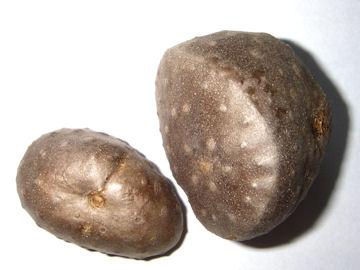 カシュウイモ(何首烏薯)の零余子