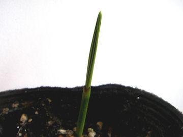 ナツメヤシの芽(棗椰子)