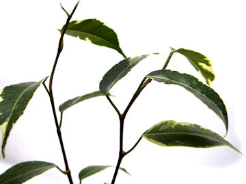 シダレガジュマル(枝垂れ榕樹)