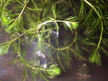 キンギョモ(金魚藻)