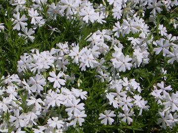 シバザクラ(芝桜)の白花