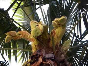 シュロの花(棕櫚)