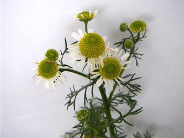 カミツレ,ジャーマンカモミールの花
