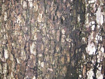 カキノキの樹皮(柿ノ木)