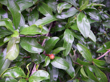 ザクロの葉とつぼみ(柘榴)