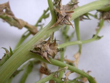 ホウレンソウの種子(菠薐草)