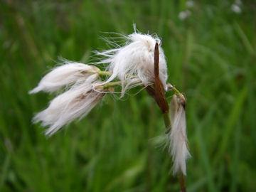 サギスゲの綿毛(鷺菅)