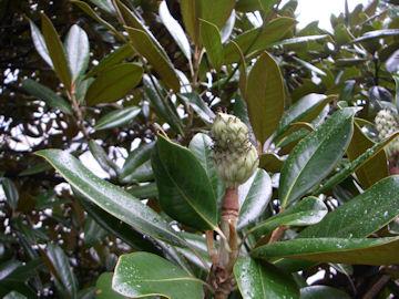 タイサンボクの実(泰山木)