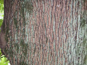 ユリノキの樹皮(百合の木)