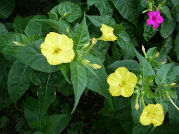 オシロイバナの花(白粉花)