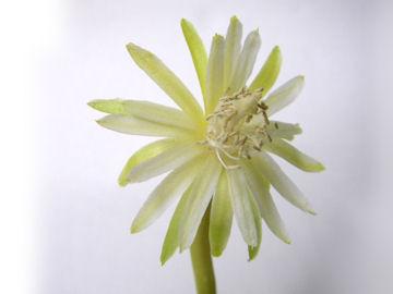 ミニドラゴンフルーツの花
