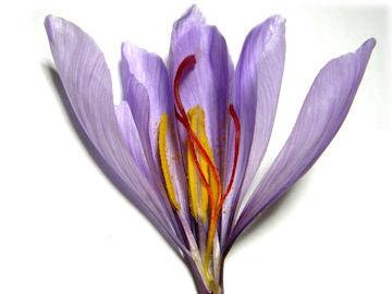 サフランの花の構造