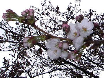 サクラの花(桜)