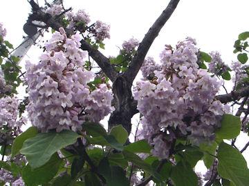 キリの花(桐)