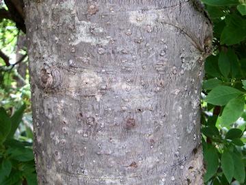 シラビソの樹皮(白檜曽,白檜)
