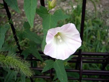 ヒルガオの花(昼顔)