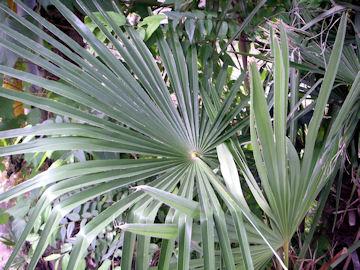シュロの葉(棕櫚)