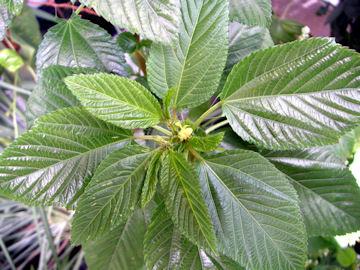 タイワンツナソの花(台湾綱麻)