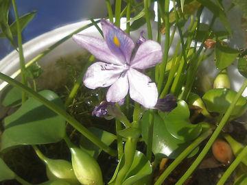 ホテイアオイの花(布袋葵)
