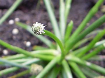 コシガヤホシクサの花(越谷星草)