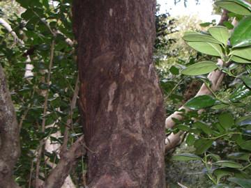 チシャノキ(萵苣の木),エゴノキの幹